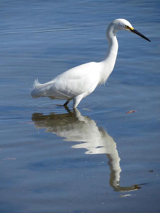 Phyllis Beiser - Snowy Egret Reflections