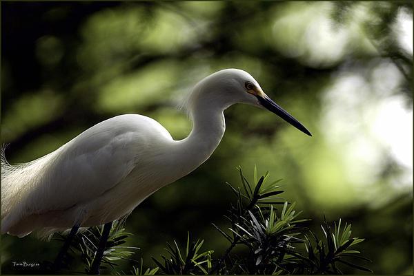 Travis Burgess - Snowy Egret