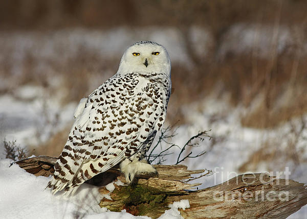 Snowy Owl At Sunset Print by Inspired Nature Photography By Shelley Myke