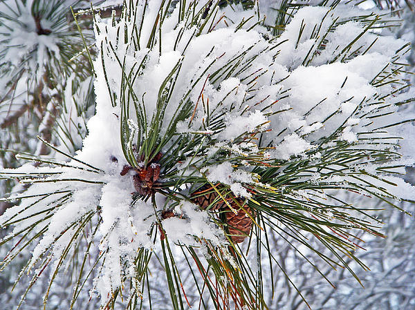 Snowy Pine Print by Aimee L Maher Photography and Art