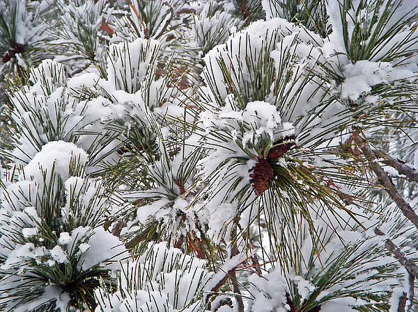 Snowy Pine Needles Print by Aimee L Maher Photography and Art