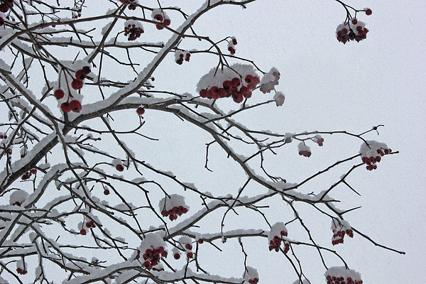 Mary Bedy - Snowy Tree with Berries 2