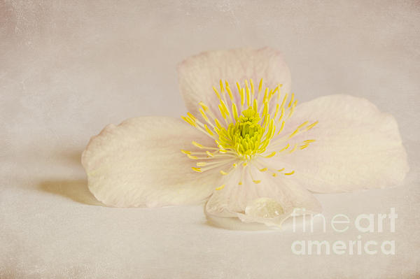 Soft Pink Flower Print by Svetlana Sewell
