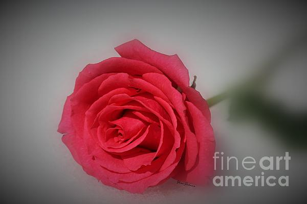 Soft Red Rose Print by Yumi Johnson
