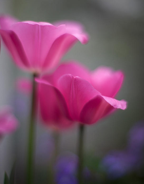 Soft Tulip Twilight Print by Mike Reid