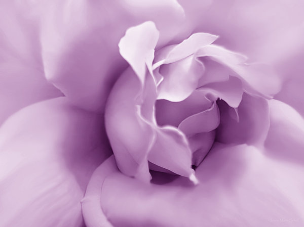 Soft Violet Rose Flower Print by Jennie Marie Schell
