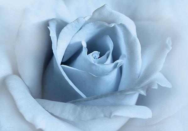 Softness Of A Blue Rose Flower Print by Jennie Marie Schell