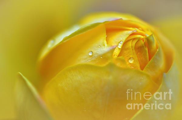 Softness Of A Miniature Rose In Yellow Print by Kaye Menner
