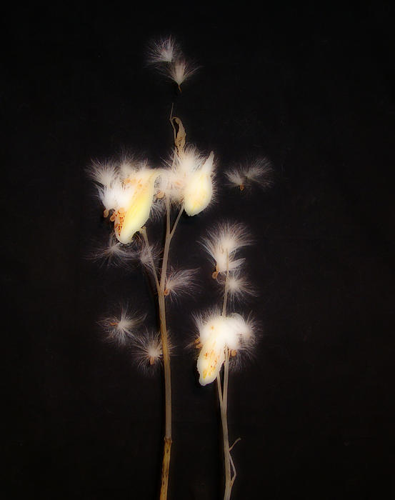 Gothicolors Donna Snyder - Song Of The Milkweed