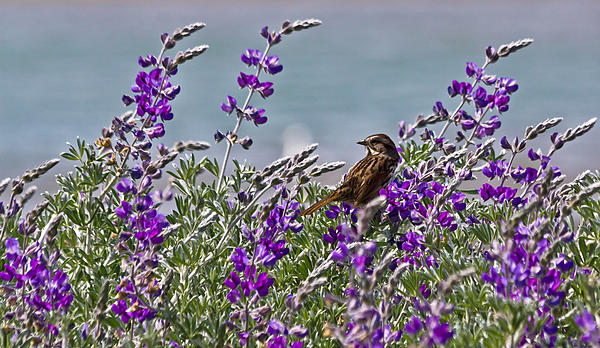 Kate Brown - Song Sparrow in Lupine