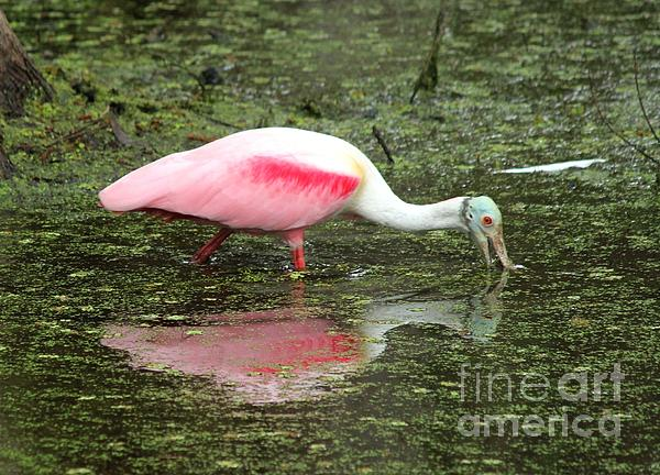 Spoonbill Print by Theresa Willingham