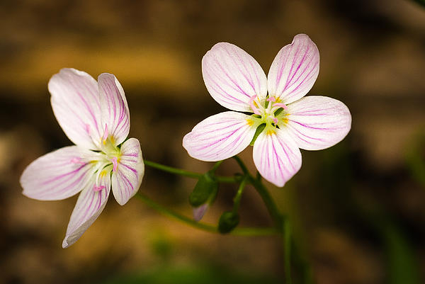 Spring Beauty Print by Thomas Pettengill