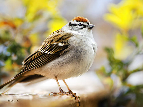Christina Rollo - Spring Chipping Sparrow