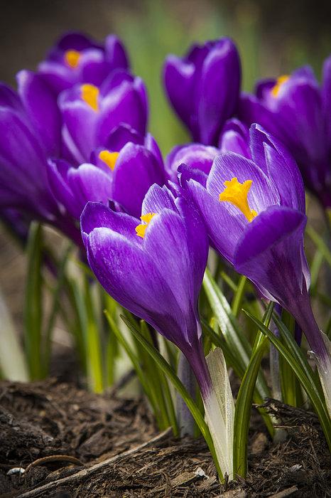 Spring Crocus Bloom Print by Adam Romanowicz