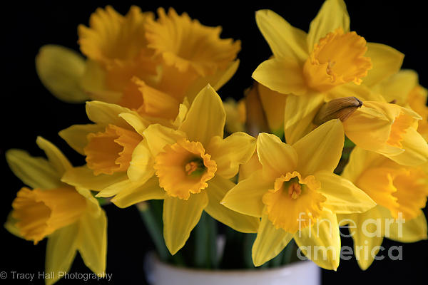 Spring Daffodils Print by Tracy  Hall