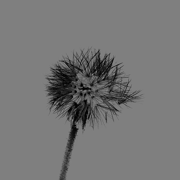 Spring Dandelion Print by Toppart Sweden