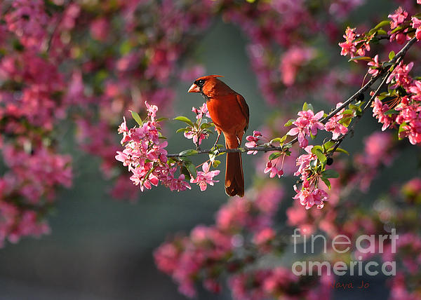 Nava Jo Thompson - Spring Morning Cardinal
