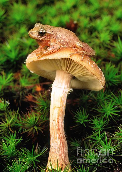Spring Peeper On Mushroom Print by Gary Meszaros