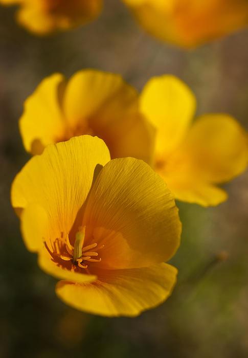 Saija  Lehtonen - Spring Poppies