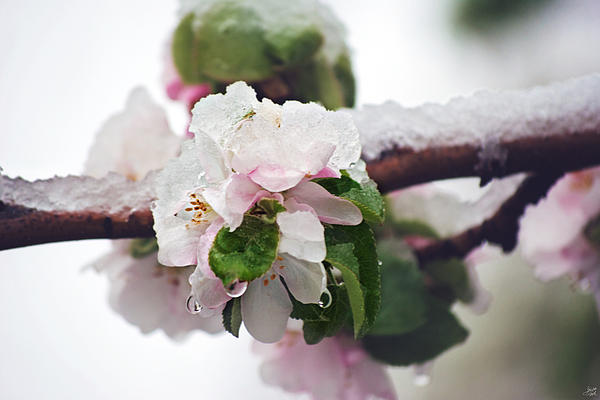 Spring Snow On Apple Blossoms Print by Lisa Knechtel