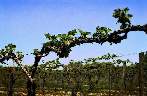 Spring Vineyard Print by Michelle Calkins