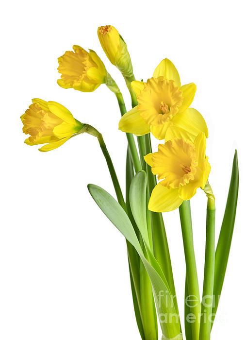 Spring Yellow Daffodils Print by Elena Elisseeva