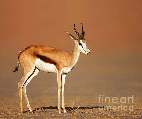 Springbok On Sandy Desert Plains Print by Johan Swanepoel