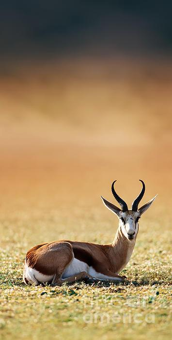 Springbok Resting On Green Desert Grass Print by Johan Swanepoel