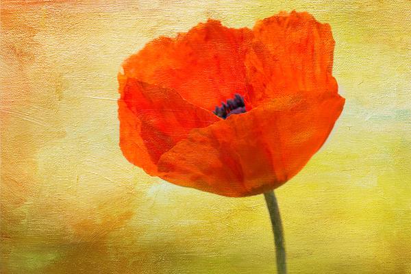 Denyse Duhaime - Springtime Poppy Beauty
