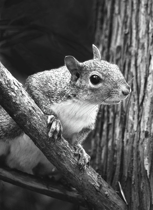 Squirrel Black And White Print by Sandi OReilly