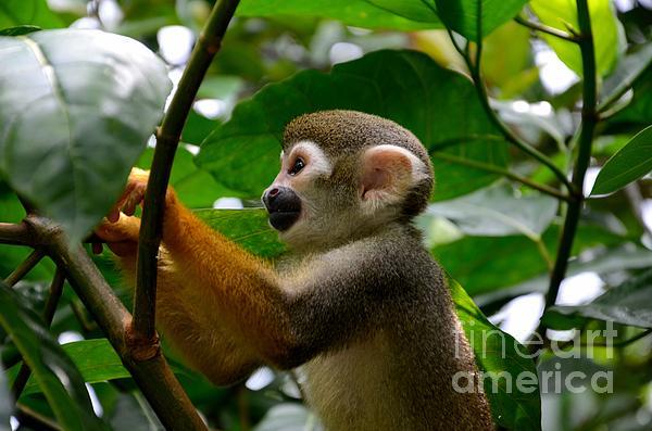 Imran Ahmed - Squirrel Monkey climbs a tree at Singapore River Safari Zoo