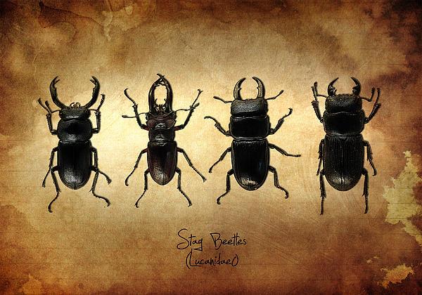Stag Beetles Print by Mark Rogan