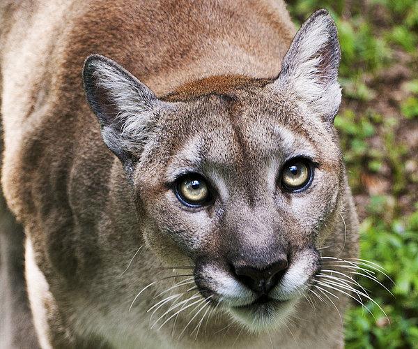 Stalking Cougar Print by Donna Proctor