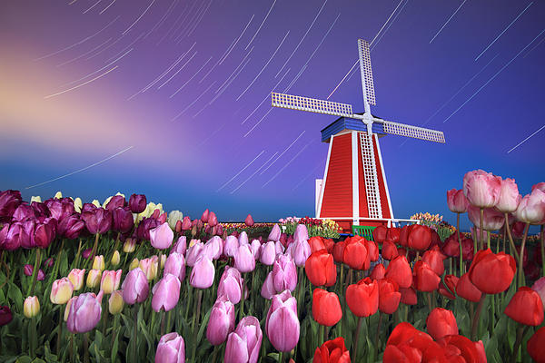 Star trails windmill and tulips Photograph