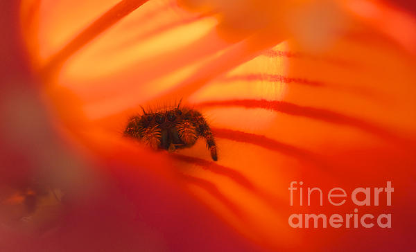 Jane Eleanor Nicholas - Stealth Mode - spider in an orange flower