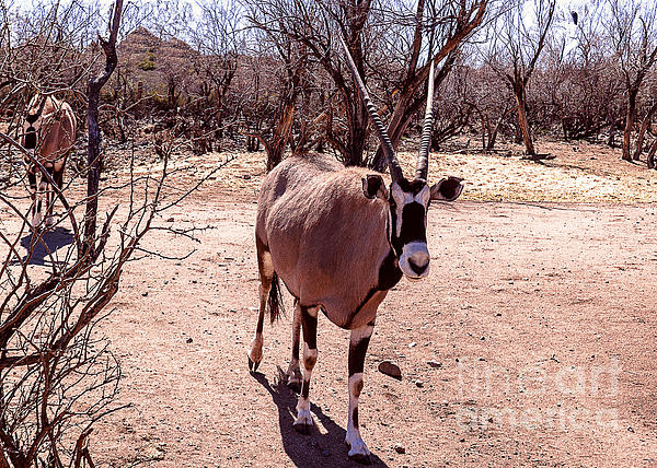 Janice Rae Pariza - Straight Horned Oryx