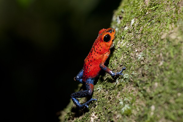 Strawberry Poison Frog Print by Science Photo Library