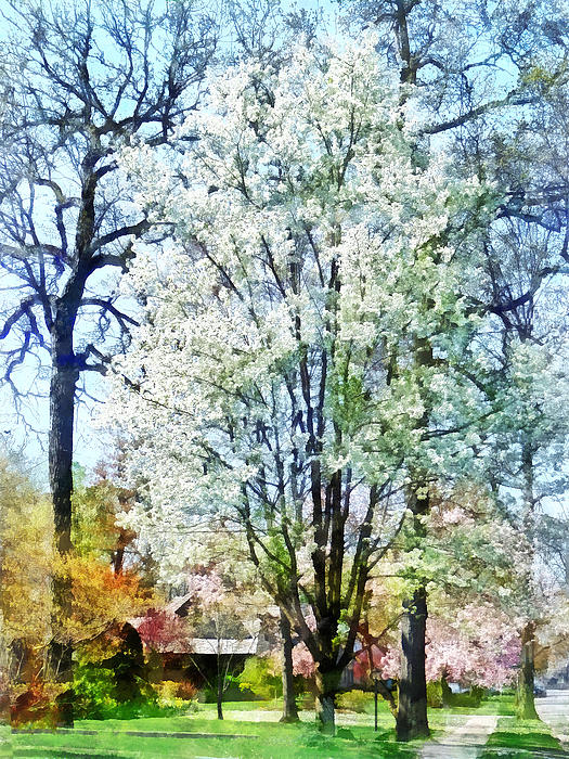 Street With White Flowering Trees Print by Susan Savad