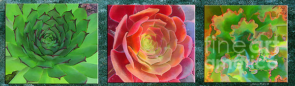 Rosy Hall - Succulent Sensation triptych horizontal