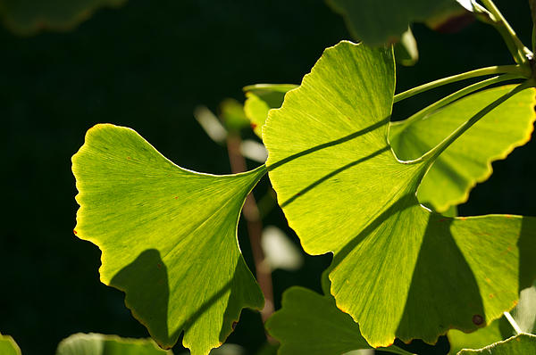 MM Anderson - Summer Ginkgo Leaves