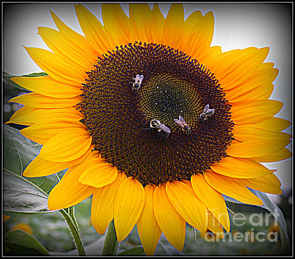 Summertime Beauty - Sunflower Print by Photographic Art and Design by Dora Sofia Caputo