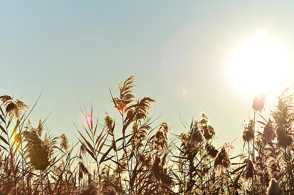 Sun Shining Over Reed Grasses Print by Tetyana Kokhanets