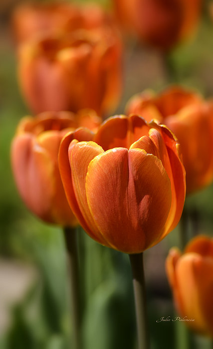 Sunburst Tulips Print by Julie Palencia