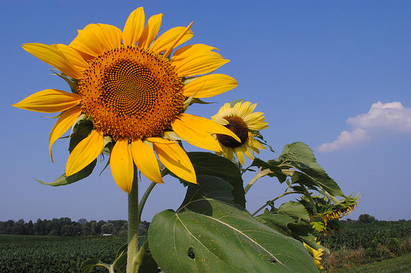 Sunflower Blues Print by Frozen in Time Fine Art Photography
