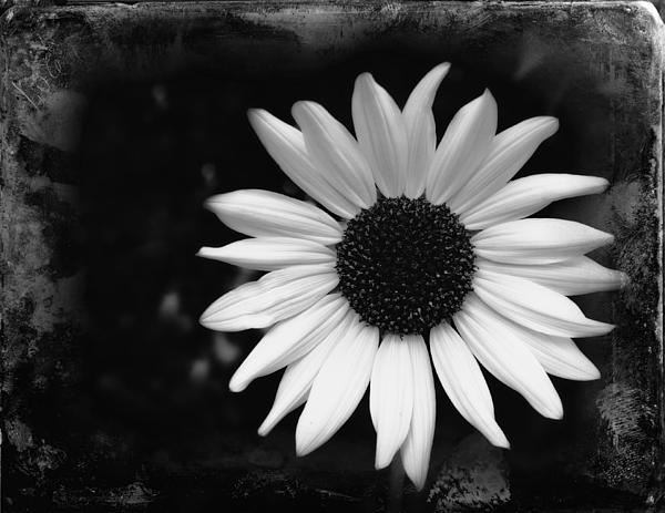 Carl Blome - Sunflower bw