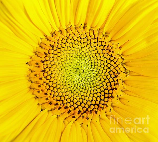 Sunflower  Print by Edward Fielding