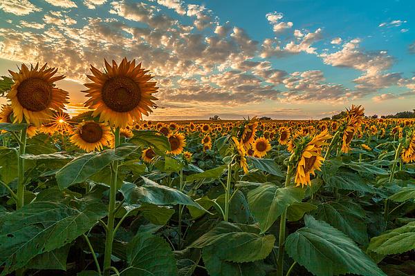 Alex Zabo - Sunflower Field
