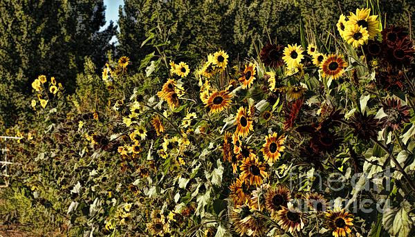 Sunflower Fields Forever Print by Peggy J Hughes