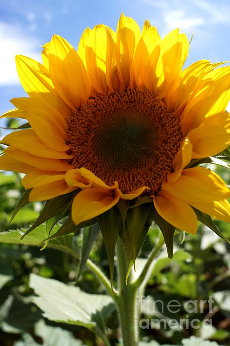 Sunflower Highlight Print by Kerri Mortenson