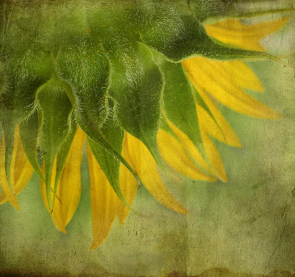 Ivelina  Aasen - Sunflower